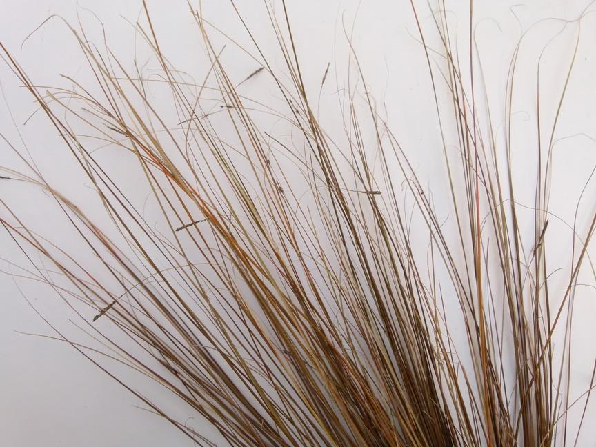 Carex buchananii carex buchananii la che de buchanan for Commande plante en ligne