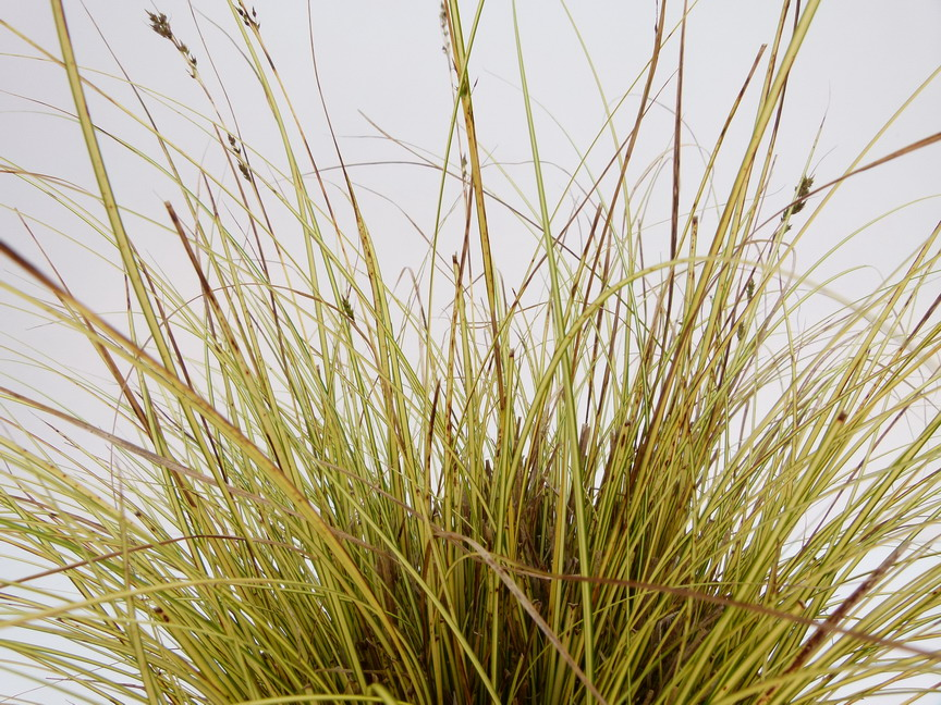CAREX brunera Doré