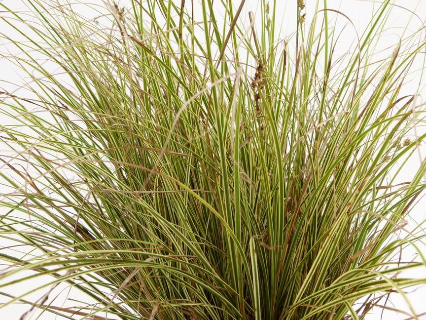Plantes vari es gramin es p pini re en ligne de kerzarc 39 h for Catalogue de plantes en ligne