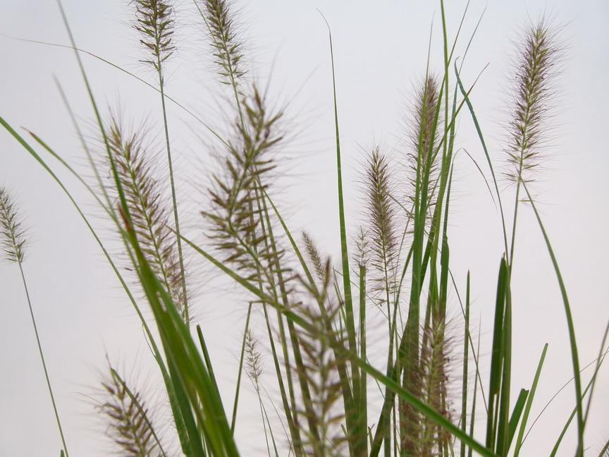 Pennisetum alopecuroides herbe aux couvillons for Site de vente de plantes en ligne