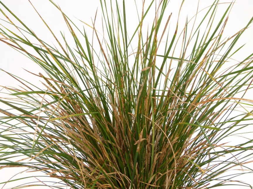 DESCHAMPSIA cespitosa Nothern Light