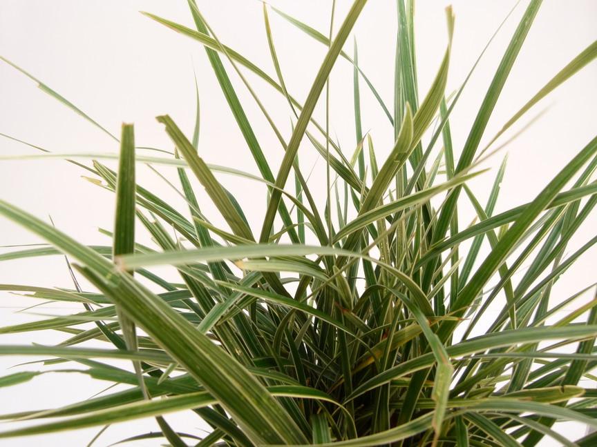 Ophiopogon jaburan vittatus ophiopogon vittatus for Site de vente de plantes en ligne
