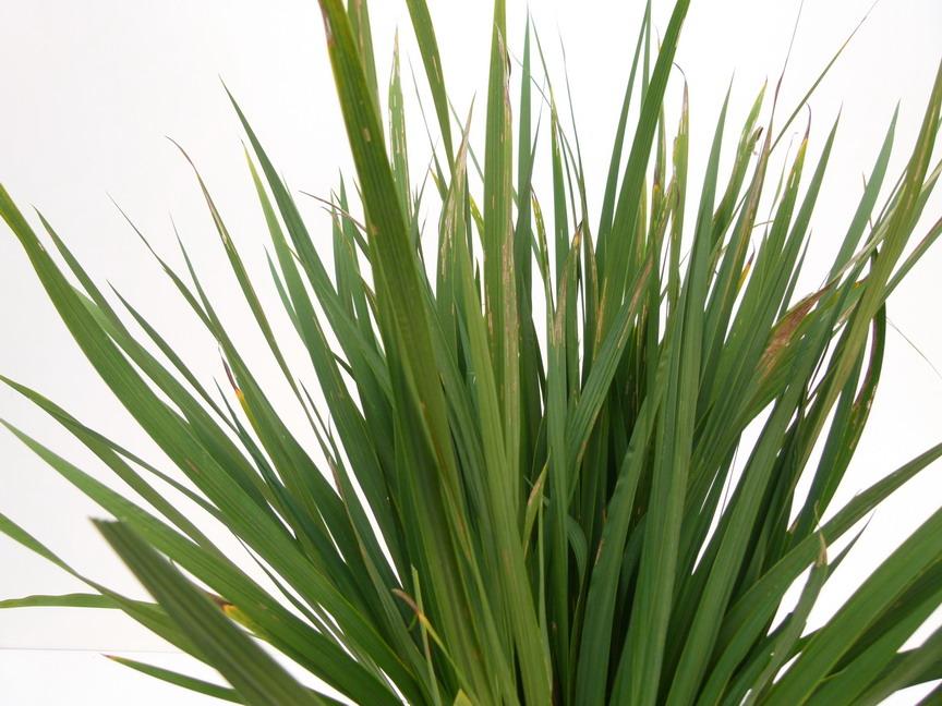Libertia grandiflora libertia grandiflora tukauki for Commande de plantes en ligne