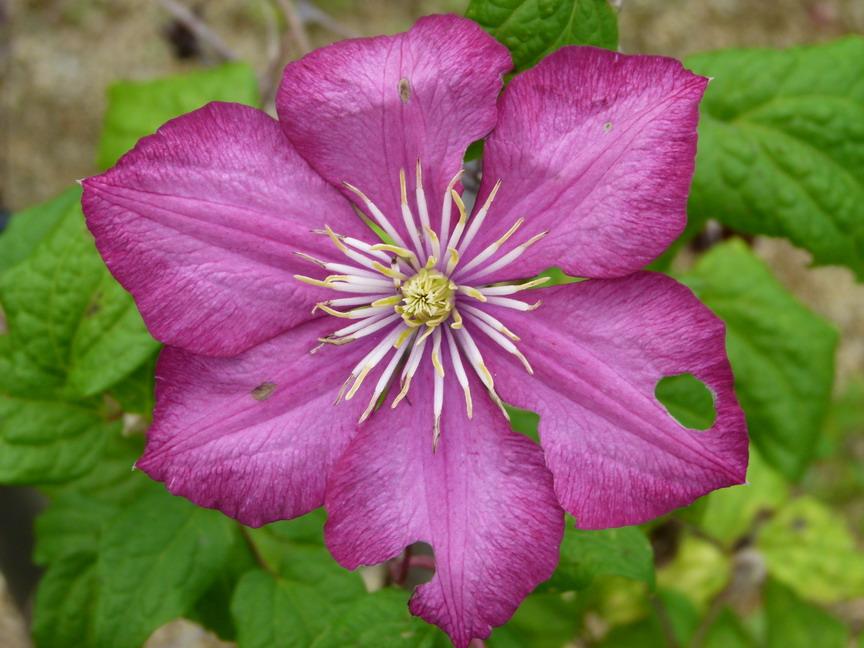 Clematis patens ville de lyon cl matite grandes fleurs for Commande plante en ligne