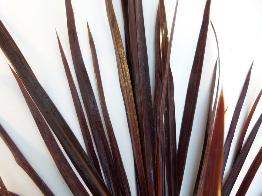 CORDYLINE australis Black Night