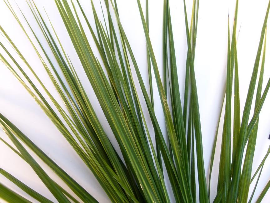 Cordyline australis palmier de nouvelle z lande - Cordyline feuilles qui jaunissent ...