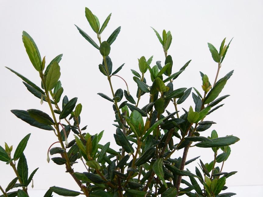 Crinodendron hookeranum lanterne du chili arbre aux for Site de vente de plantes en ligne