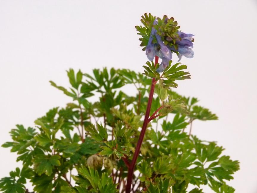 Corydalis x blue line corydale blue line p pini re for Commande plante en ligne