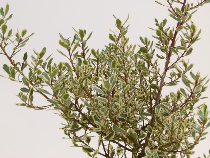 Rhamnus alaterna argenteovariegata alaterne panach for Commande de plantes en ligne