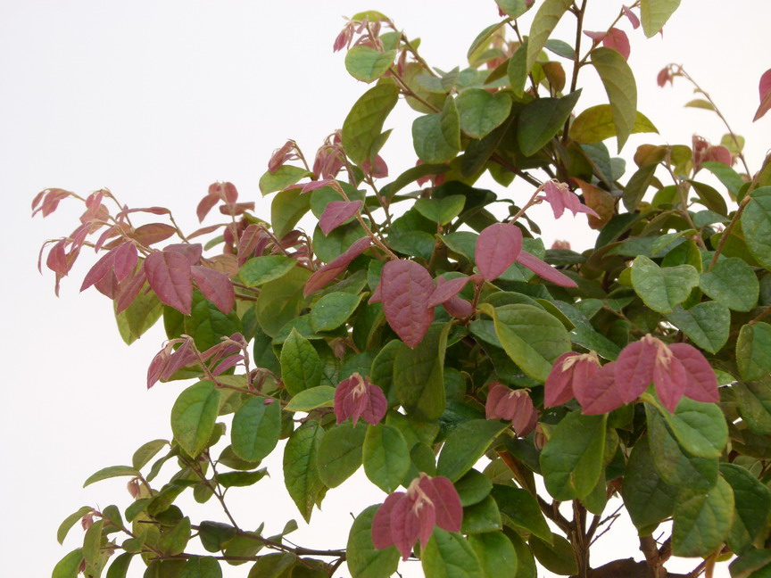 LOROPETALUM chinense Burgundy