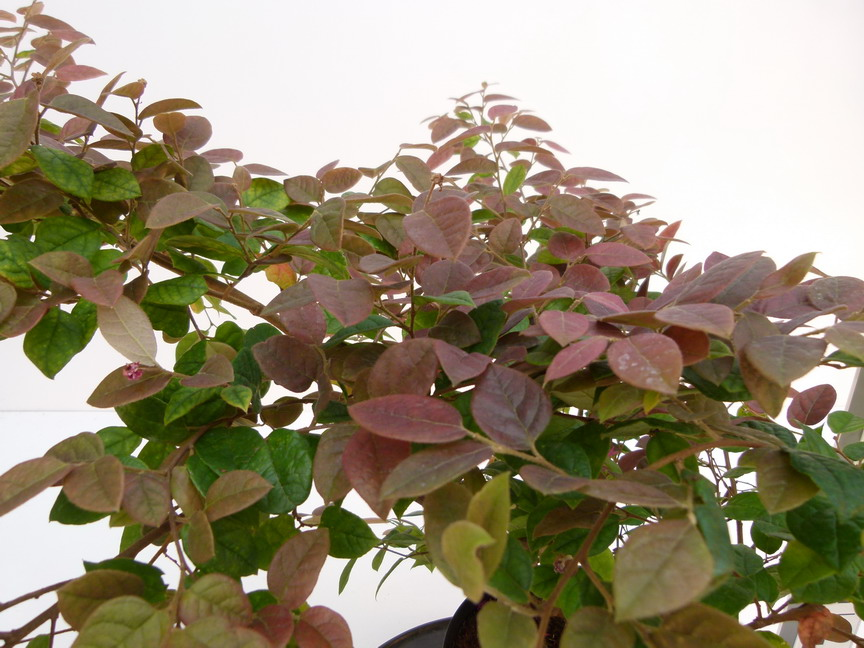 LOROPETALUM chinense Day Break Flame