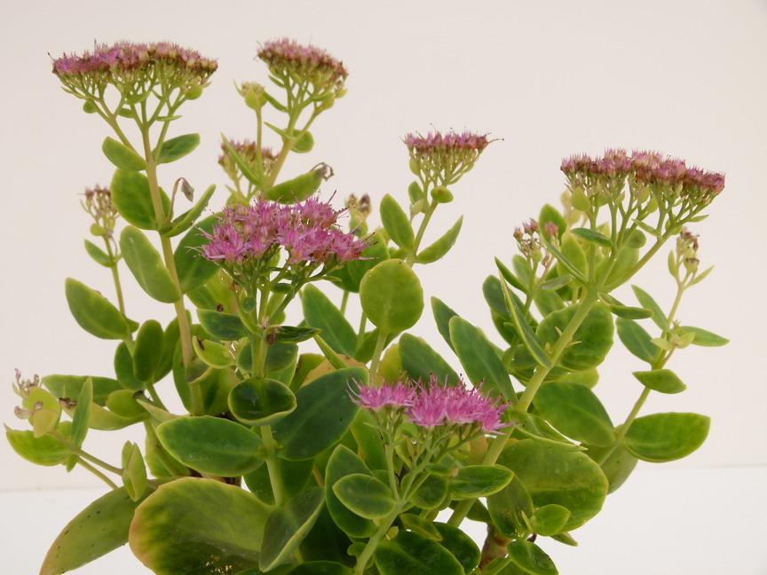 Sedum spectabilis brilliant s dum remarquable brilliant for Commande de plantes en ligne