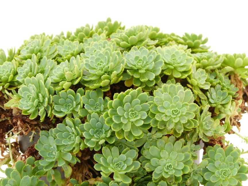 Sedum pachyclados s dum pachyclados orpin p pini re for Commande de plantes en ligne