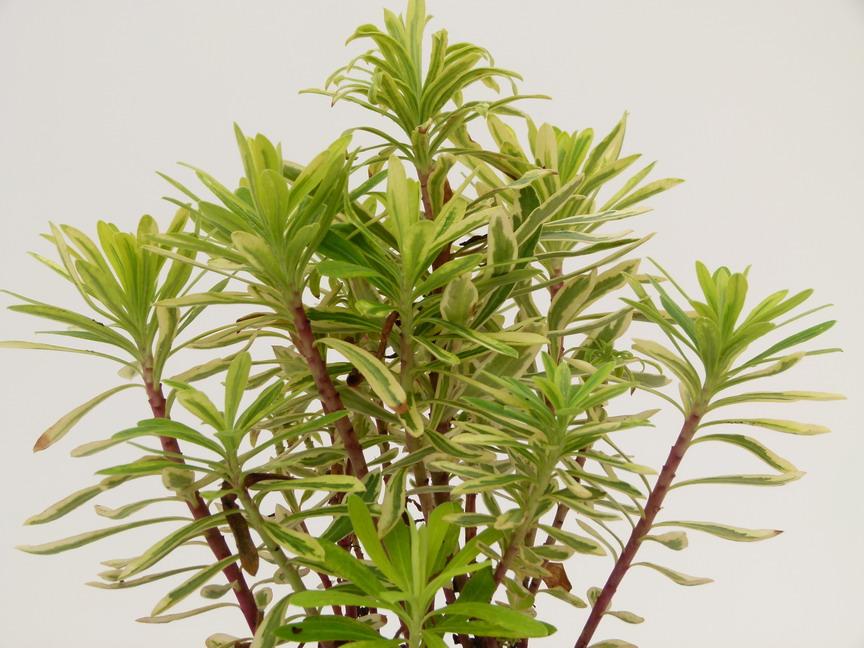 Euphorbia characias burrow silver euphorbe burrow silver for Site de vente de plantes en ligne