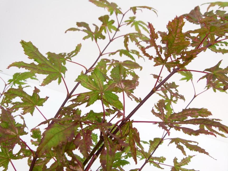 Acer palmatum reticulatum red erable palmatilob rable for Commande plante en ligne