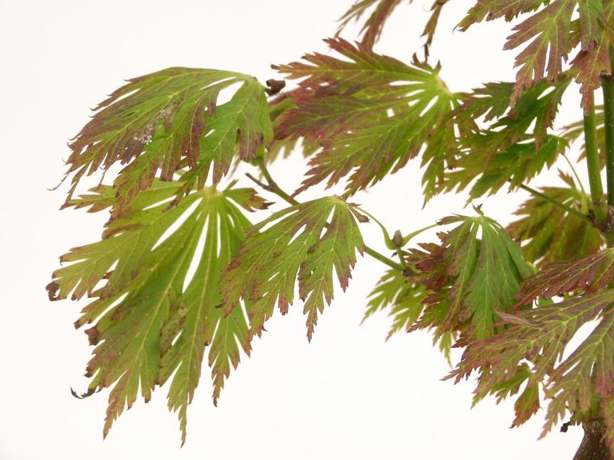 Acer japonicum aconitifolium erable du japon feuilles d 39 aconit p pini re en ligne de kerzarc 39 h - Maladie erable du japon ...