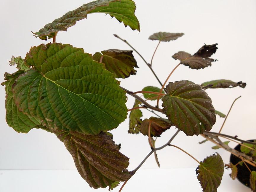 Davidia involucrata arbre aux pochettes arbre aux for Site de plante en ligne