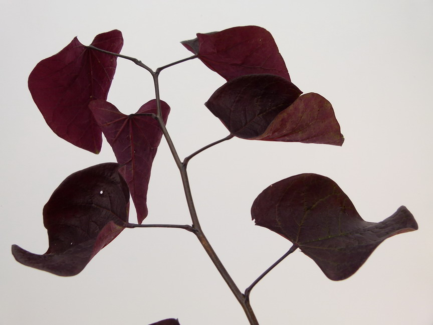 CERCIS canadensis Red Force ®