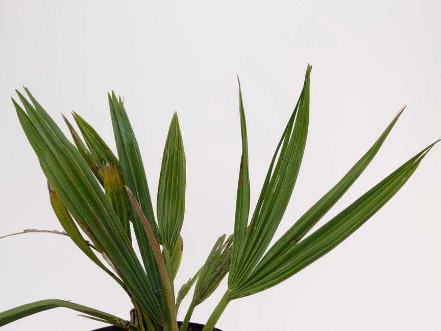 Sabal minor palmier p pini re en ligne de kerzarc 39 h for Commande plante en ligne