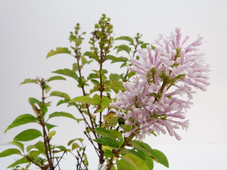 Syringa h l ne lilas de preston h l ne p pini re en ligne de kerzarc 39 h - Entretien orchidee apres floraison ...