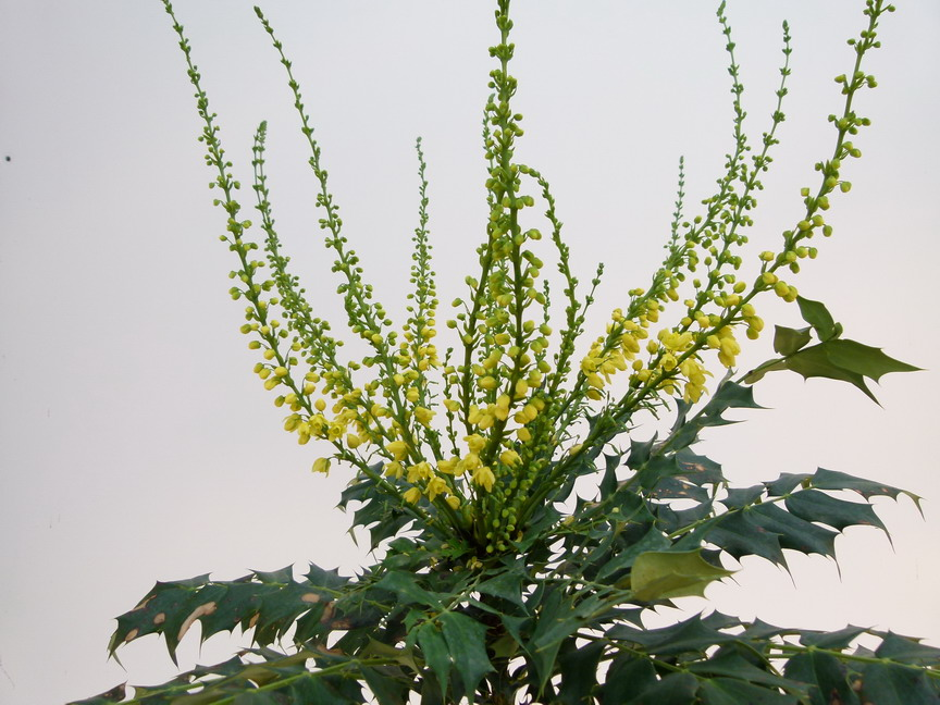 MAHONIA x.media Winter Sun