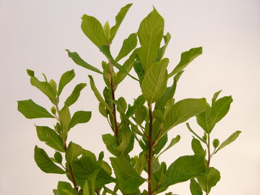 Clethra Alnifolia Ruby Spice Taille Clethra Alnifolia Ruby Spice