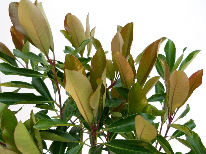 Rhaphiolepis indica coppertone rhaphiolepis des indes for Commande plante en ligne