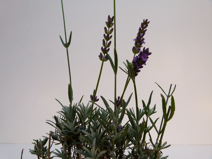 LAVANDULA Richard Gray