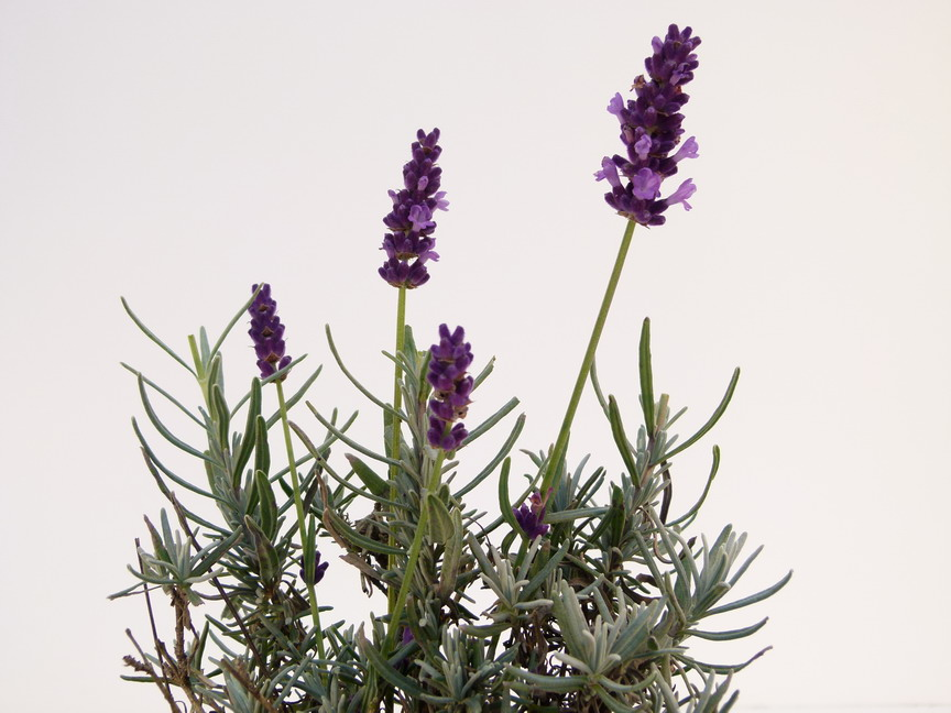 LAVANDULA angustifolia Twickel Purple