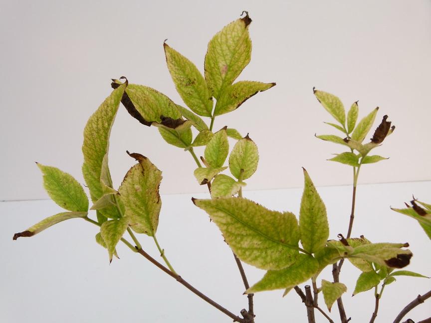 Sambucus nigra aurea sureau commun sureau noir for Commande de plantes en ligne