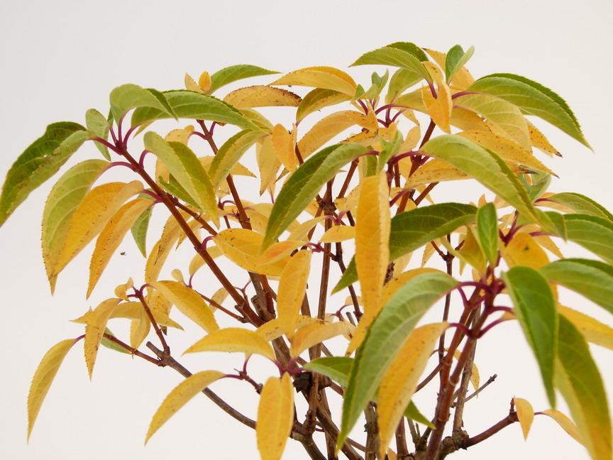 Hydrangea paniculata compacta hortensia panicul for Commande plante en ligne