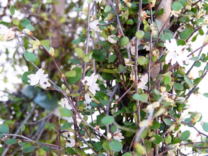 Muehlenbeckia complexa cheveux d 39 ange p pini re en for Site de vente de plantes en ligne