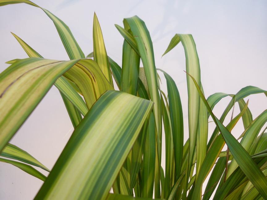 Phormium tenax yellow wave lin de nouvelle z lande for Site de plante en ligne