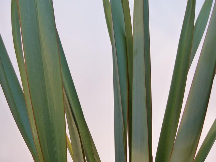 Phormium tenax lin de nouvelle z lande vert p pini re for Commande plante en ligne