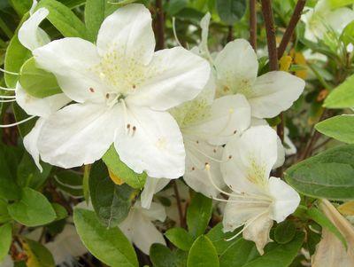 Azalea japonaise white lady azal e japonaise white lady for Plante japonaise