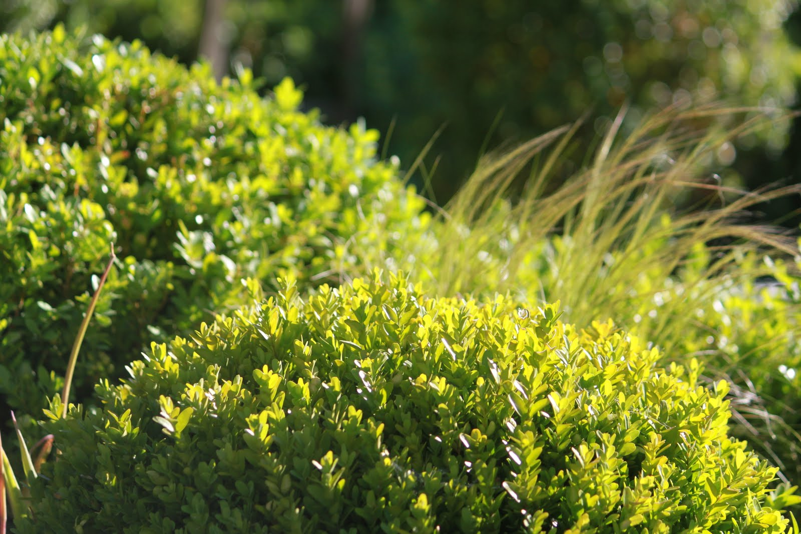Ilex crenata dark green houx cr nel dark green houx for Site de plante en ligne