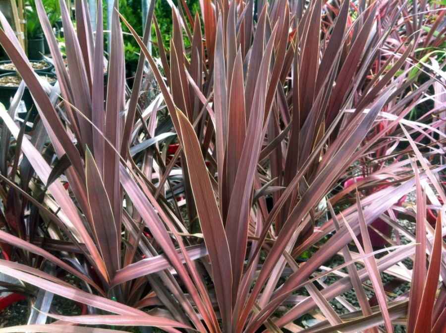 CORDYLINE australis Purple Tower