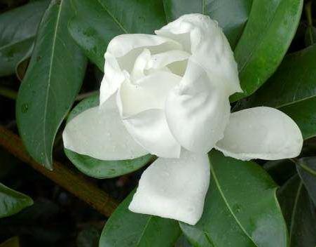 magnolia grandiflora double nantais magnolia double nantais laurier tulipier magnolier. Black Bedroom Furniture Sets. Home Design Ideas