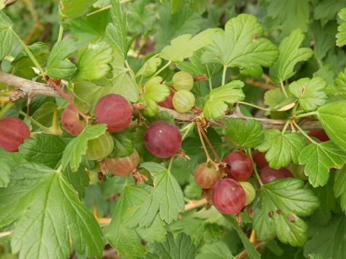 Groseillier maquereaux freedonia groseillier for Site de vente de plantes en ligne