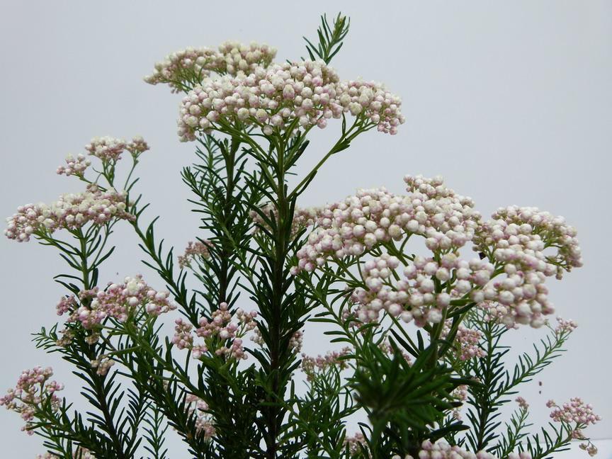 Ozothamnus diosmifolius ozothamne fleur de diosma for Site de plante