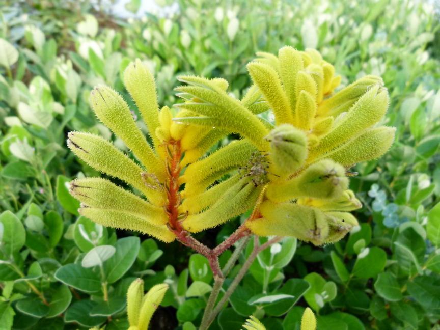 Anigozanthos gold velvet patte de kangourou pied de for Commande de plantes