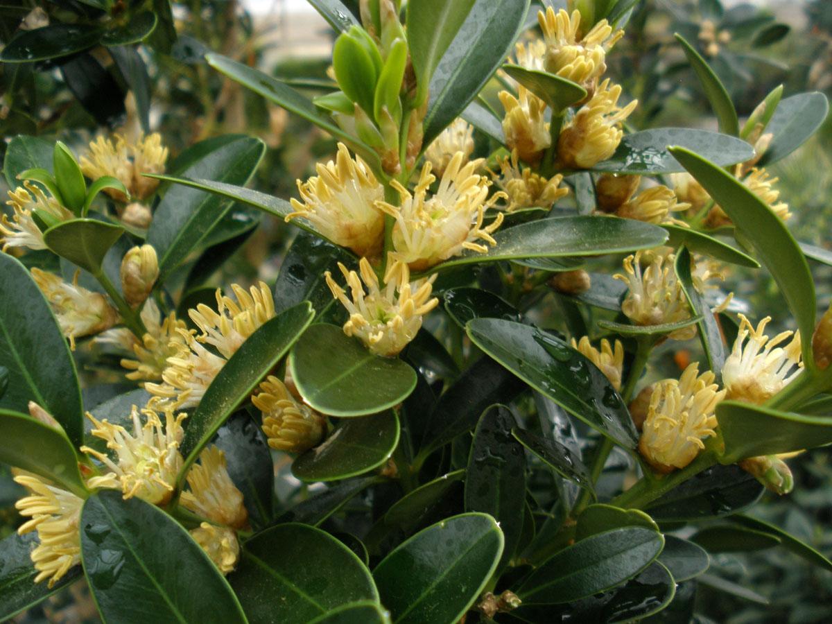 Buxus balearica buis des bal ares buis de mahon for Commande de plantes
