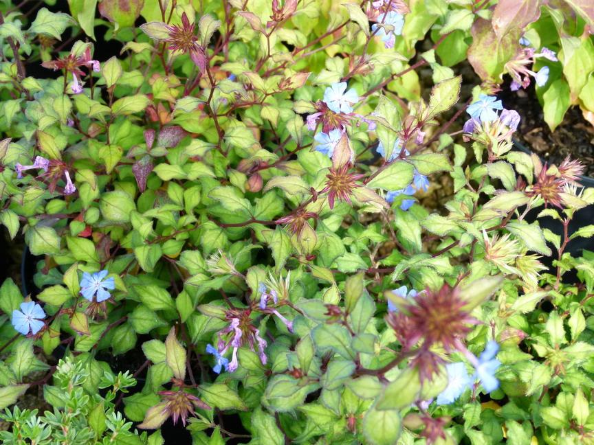 Ceratostigma willmottianum plumbago arbustif p pini re for Commande de plantes en ligne