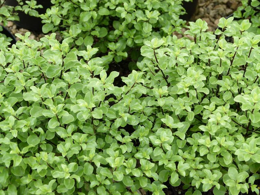 pittosporum tenuifolium emerald dome pittosporum petites feuilles emerald dome pittospore. Black Bedroom Furniture Sets. Home Design Ideas