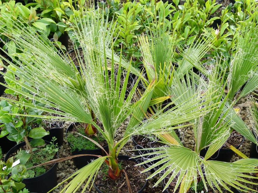 washingtonia filifera palmier jupon palmier de californie p pini re en ligne de kerzarc 39 h. Black Bedroom Furniture Sets. Home Design Ideas