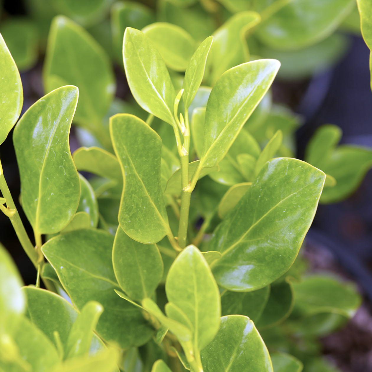 Griselinia littoralis green horizon gris line green for Site de plante en ligne