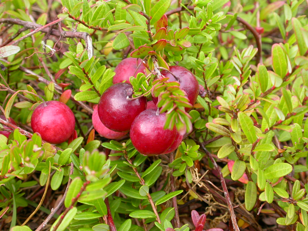 VACCINIUM macrocarpon Early Black