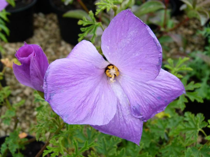 Alyogyne huegelii santa cruz alyogyne hibiscus d for Site de vente de plantes en ligne