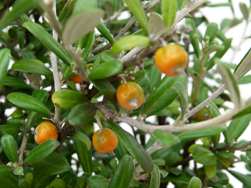 COROKIA x.virgata Red Wonder : fructification d'automne.