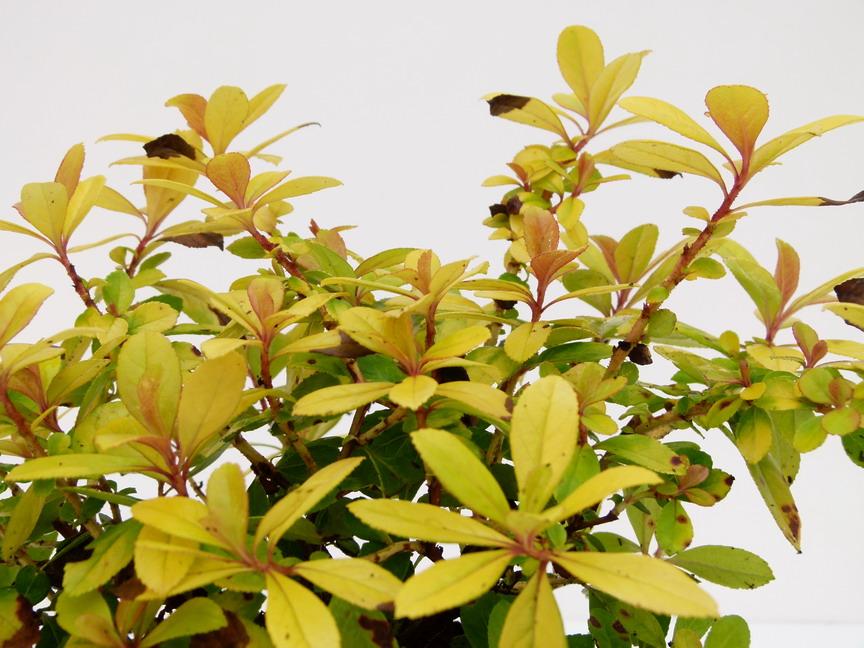Escallonia laevis aureovariegata escallonia for Commande de plantes en ligne